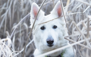 Berger Blanc Suisse Full HD