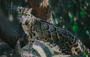Best Images Of Clouded Leopard