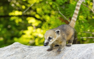 Best Images Of Coati