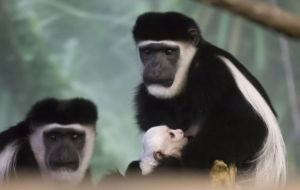 Best Images Of Colobus Monkey