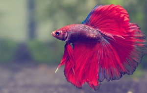 Betta HD Background
