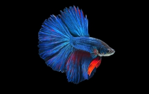 Betta HD Desktop