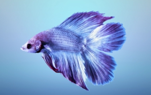 Betta HD Wallpaper