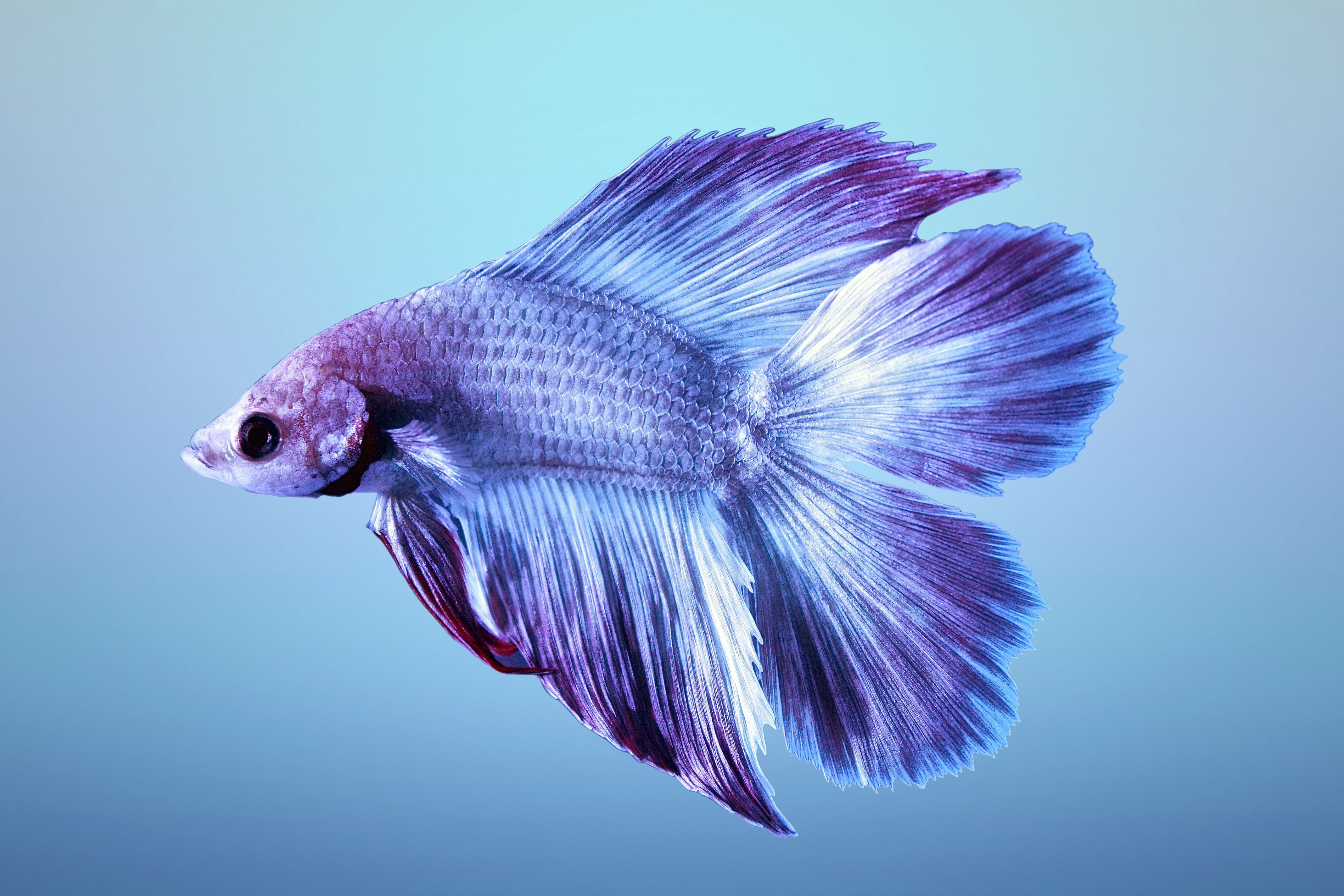 Betta wallpapers backgrounds for All about betta fish
