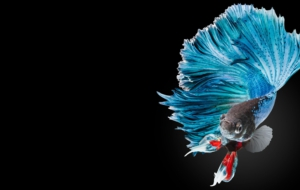 Betta High Definition Wallpapers