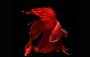 Betta High Quality Wallpapers