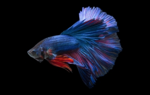Betta Images