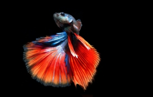 Betta Pictures