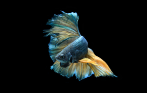 Betta Wallpapers