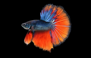 Betta Wallpapers HD
