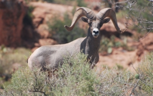 Bighorn Sheep Background