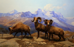 Bighorn Sheep Computer Wallpaper