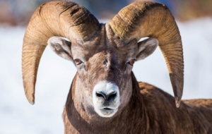 Bighorn Sheep Desktop
