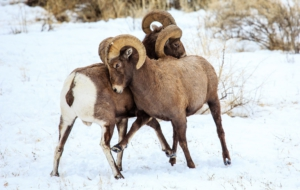Bighorn Sheep HD Background