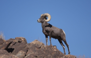 Bighorn Sheep HD Desktop