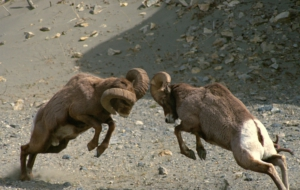 Bighorn Sheep HD Wallpaper