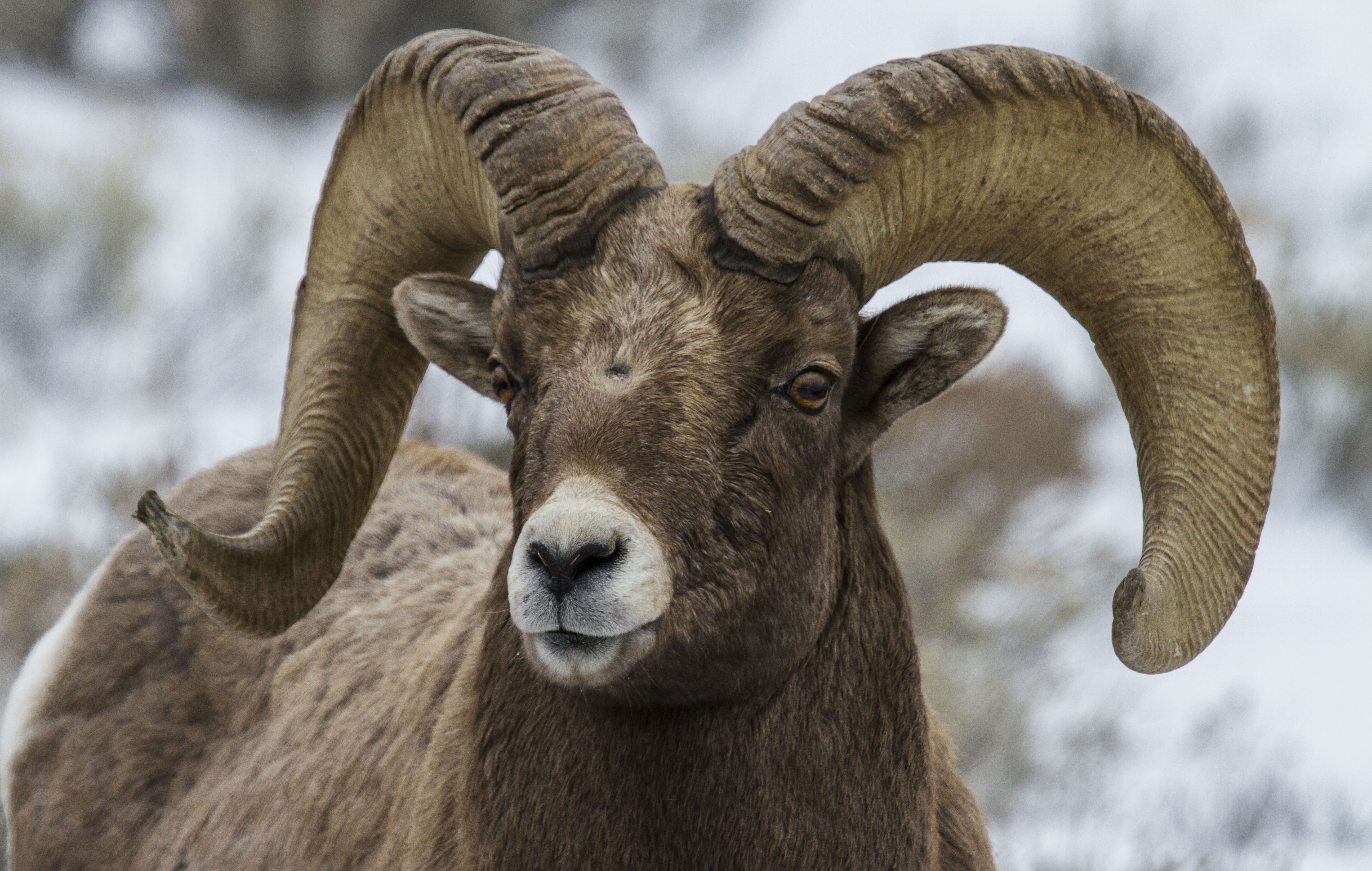 Bighorn Sheep Wallpapers Backgrounds