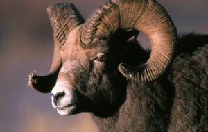 Bighorn Sheep High Quality Wallpapers