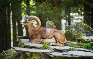 Bighorn Sheep Wallpaper