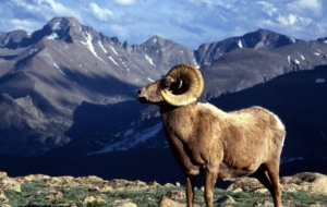 Bighorn Sheep Wallpapers HD