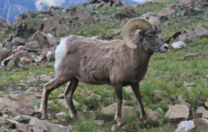 Bighorn Sheep For Desktop