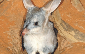 Bilby HD Wallpaper