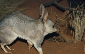 Bilby High Definition Wallpapers