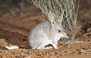 Bilby High Quality Wallpapers
