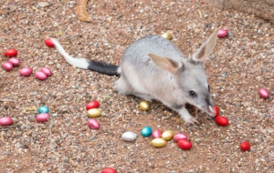 Bilby Images