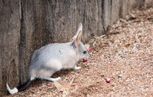 Bilby Photos