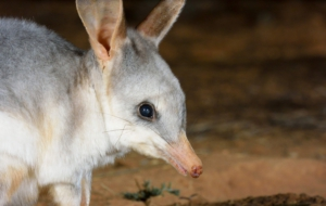 Bilby Pictures