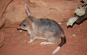 Bilby Wallpaper