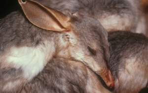 Bilby Wallpapers