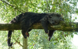 Binturong Background