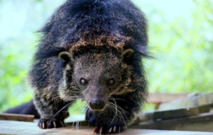 Binturong HD Background