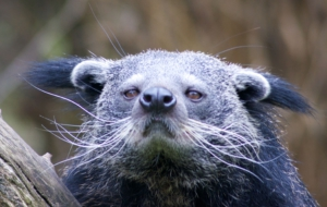 Binturong High Quality Wallpapers