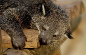 Binturong Wallpapers