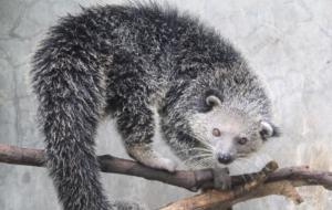 Binturong For Desktop