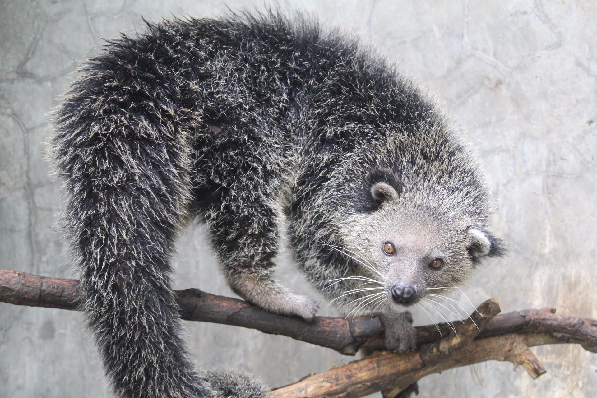 Binturong Wallpapers Backgrounds