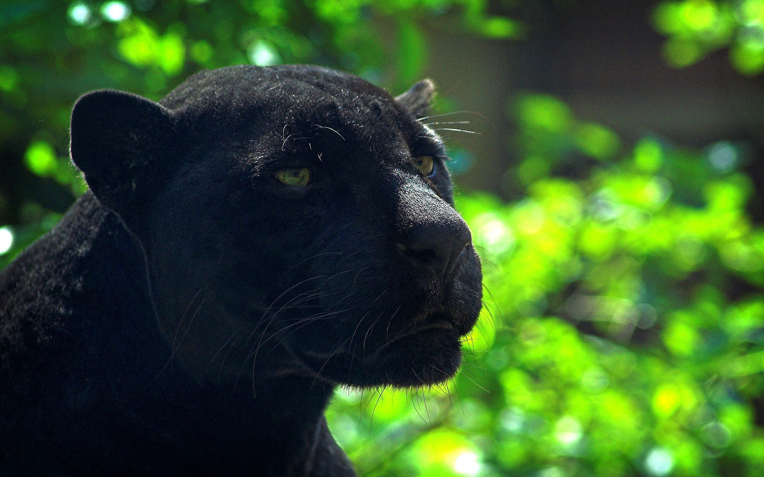 Black Panther Animal Wallpapers: Black Panther Wallpapers Backgrounds