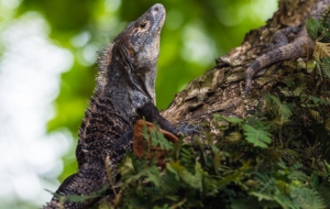 Black Spiny Tailed Iguana Background