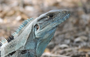 Black Spiny Tailed Iguana Desktop