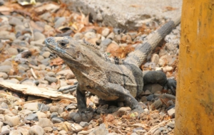 Black Spiny Tailed Iguana HD