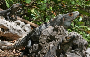 Black Spiny Tailed Iguana High Quality Wallpapers