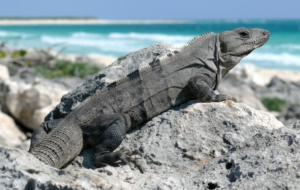 Black Spiny Tailed Iguana Images