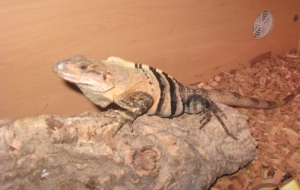 Black Spiny Tailed Iguana Pictures