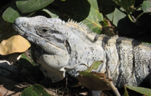 Black Spiny Tailed Iguana Wallpapers