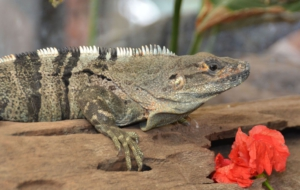 Black Spiny Tailed Iguana Full HD