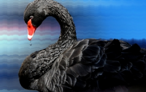 Black Swan Background