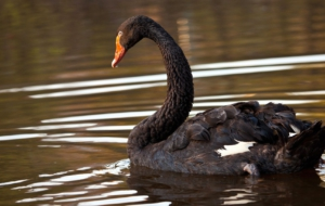 Black Swan Pictures